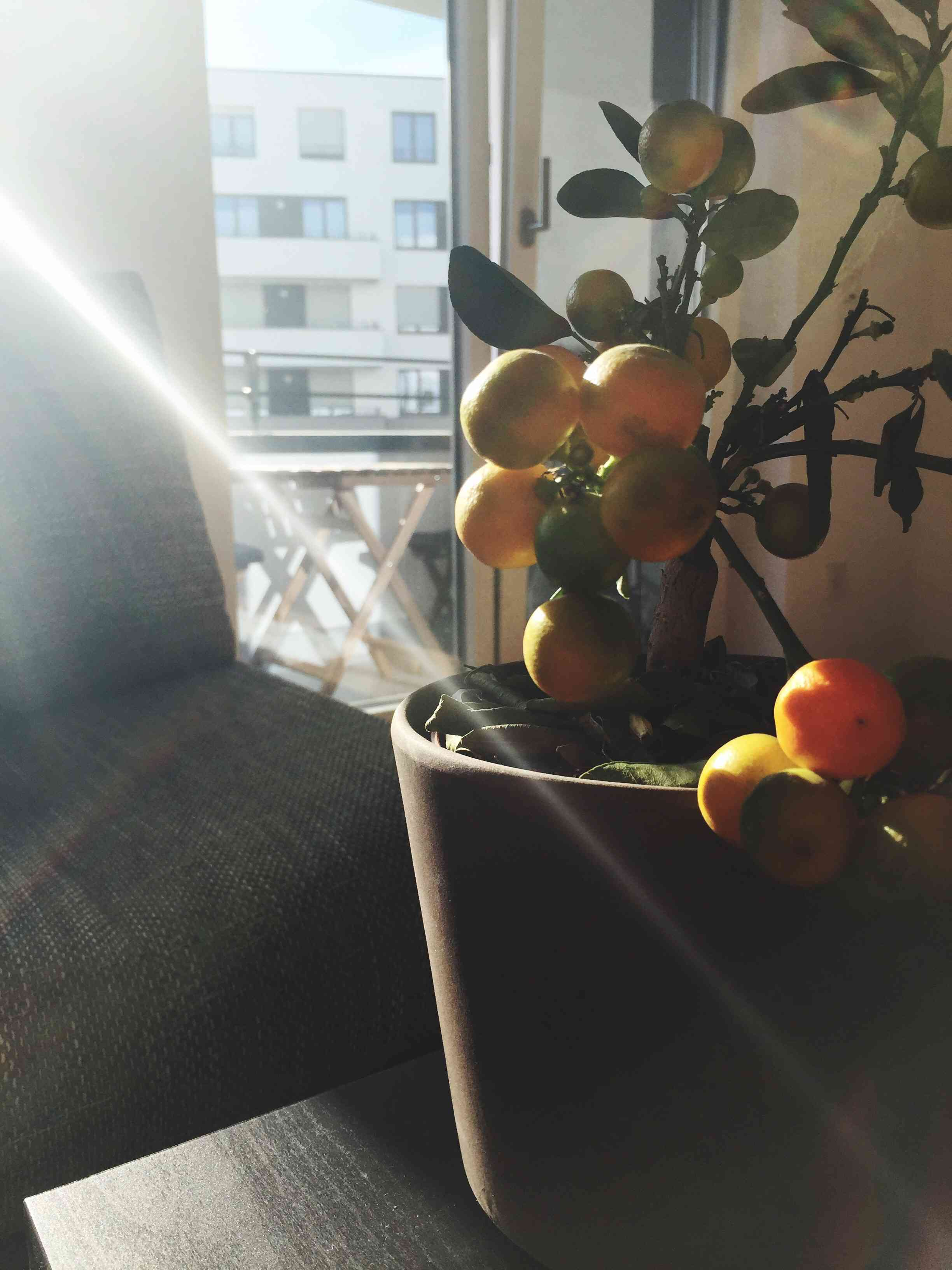 A mini lemon tree in a pot.