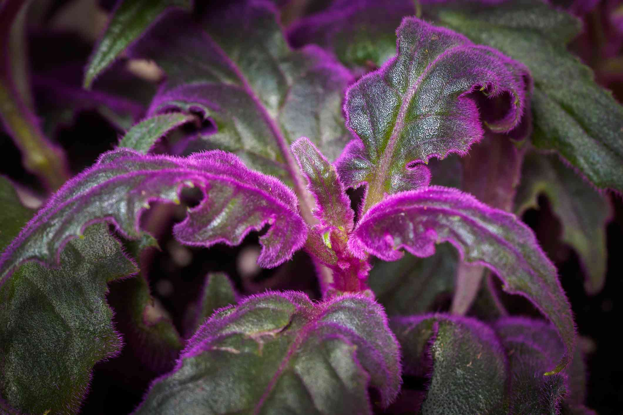 close-up of purple passion plant with green leaves and bright purple fuzz