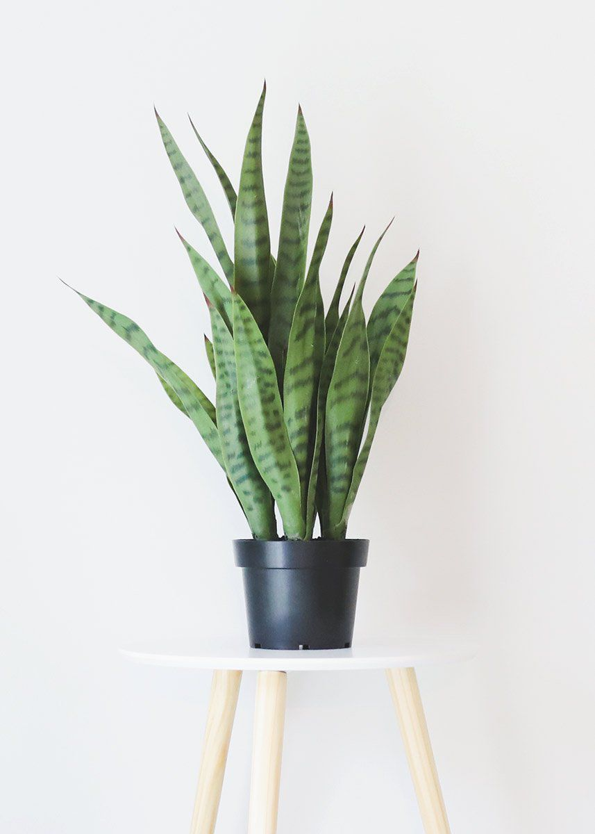 artificial snake plant afloral