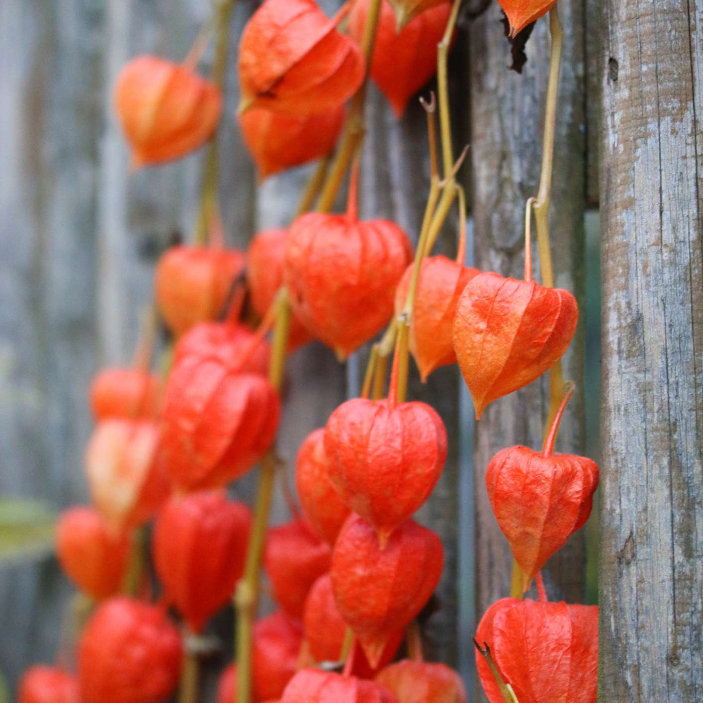 bright orange chinese lantern plant husks growing on yellow stems outdoors against wooden fence