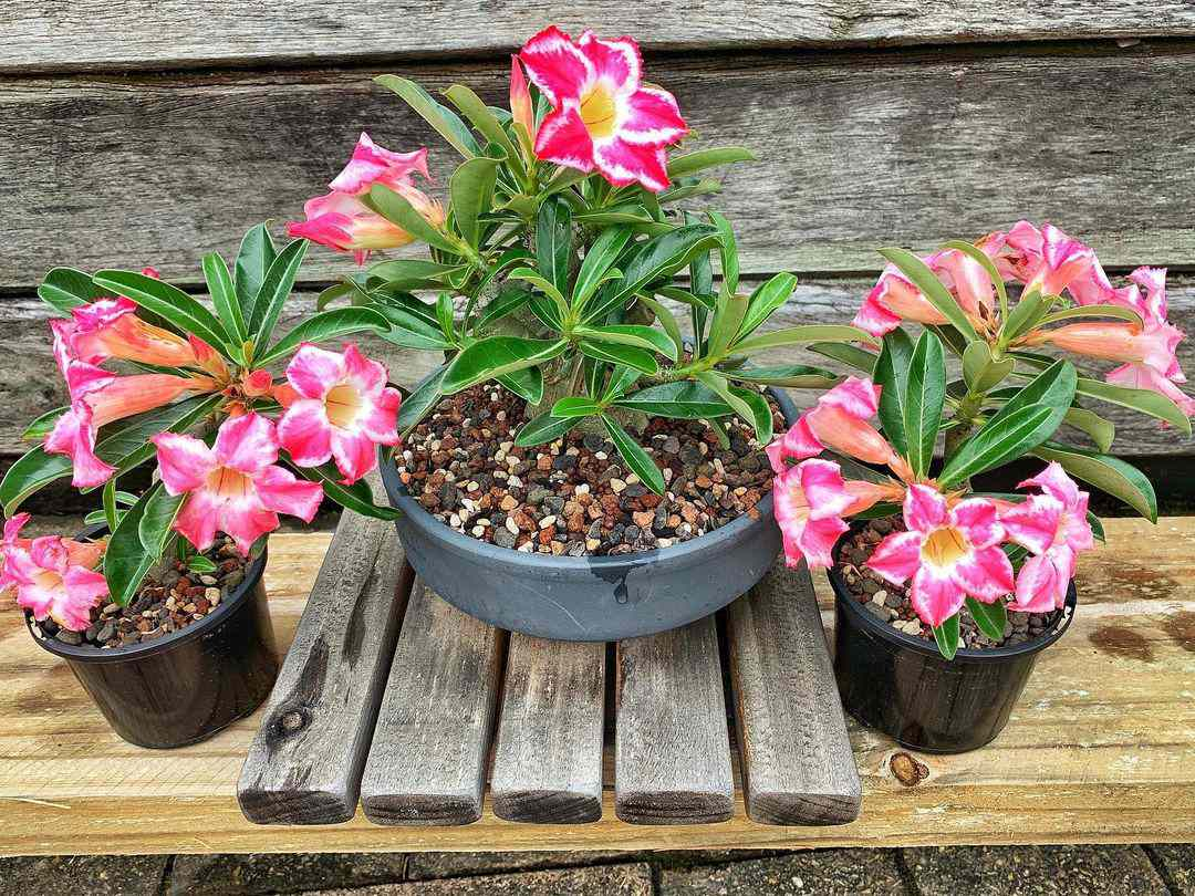 three potted desert rose bonsai plants with pink flowers against wood background