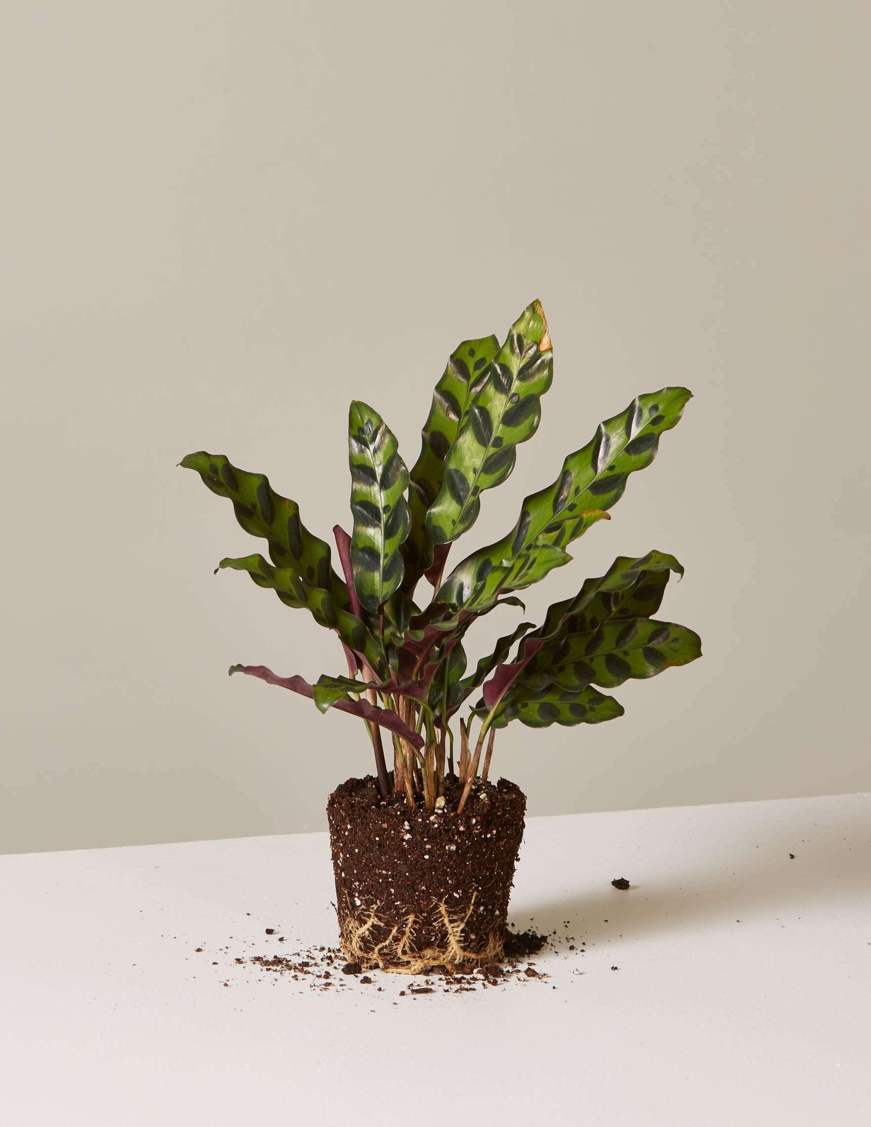 bare root calathea rattlesnake plant