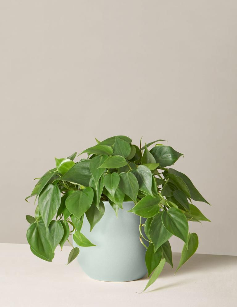 Green philodendron in a mint ceramic pot