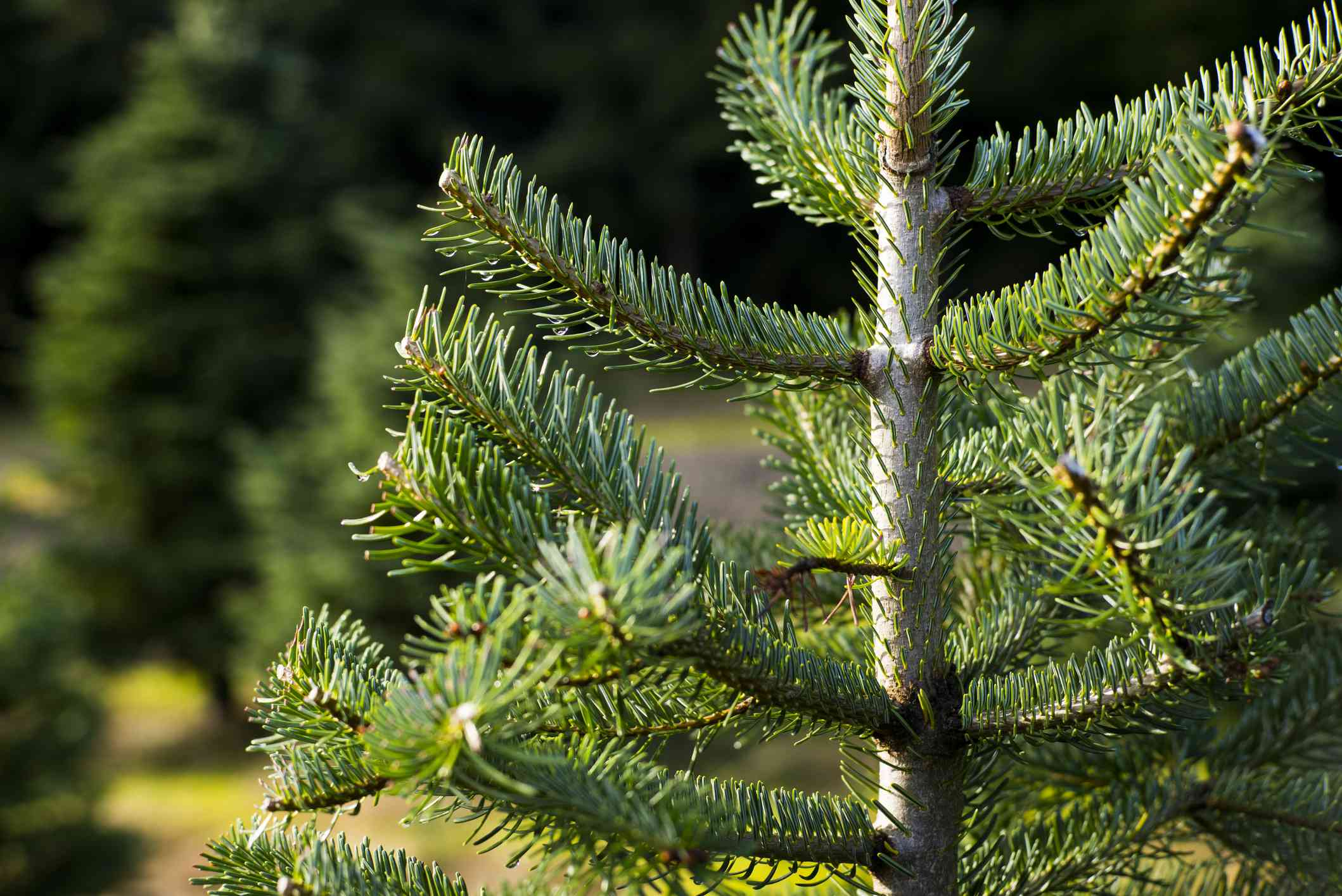 9 Different Types Of Christmas Trees To Consider This Holiday Season