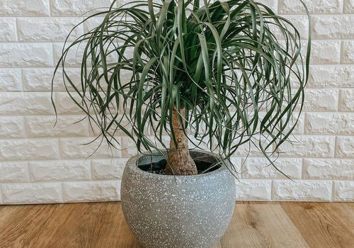 ponytail palm plant in gray ceramic planter on wood floor in front of white brick wall