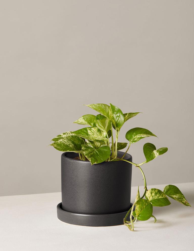 Marble pothos plant in black ceramic planter
