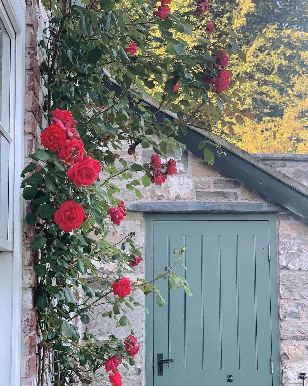 Red rose vine trailing up house.