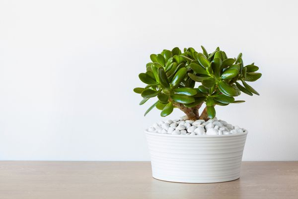 A jade plant in a white pot