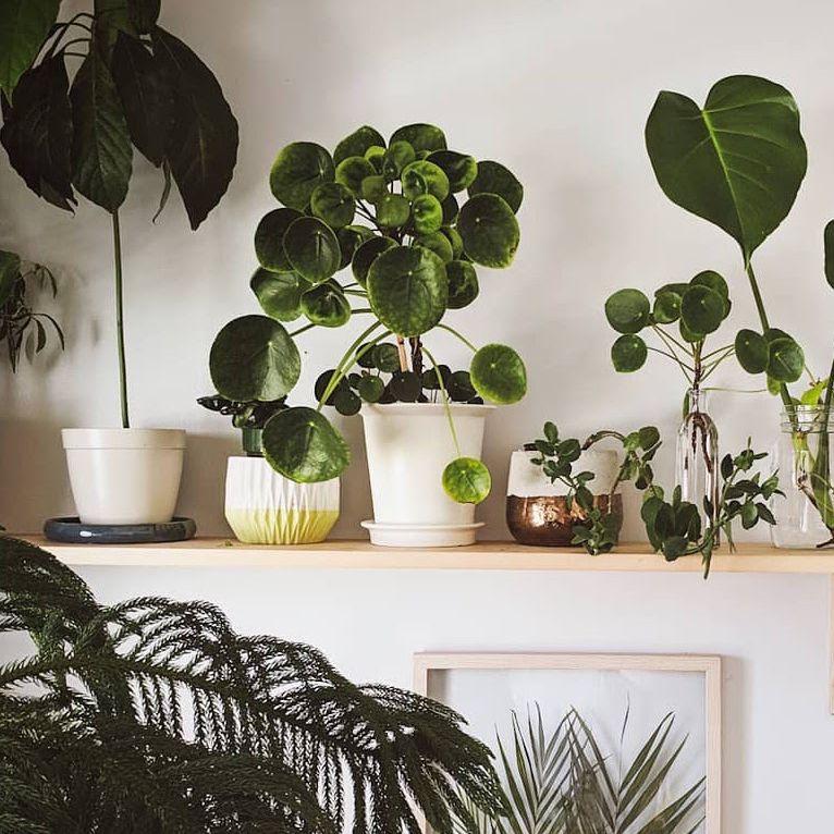chinese money plant cheap plants