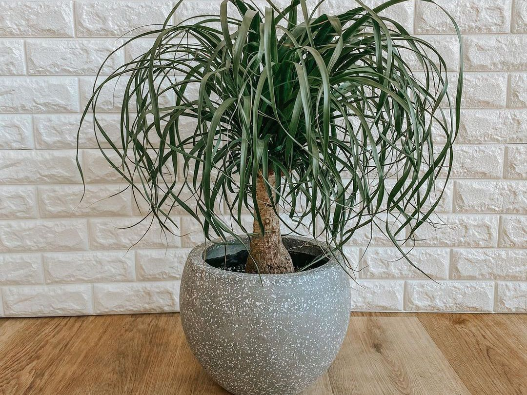 Ponytail Palm: Plant Care & Growing Guide