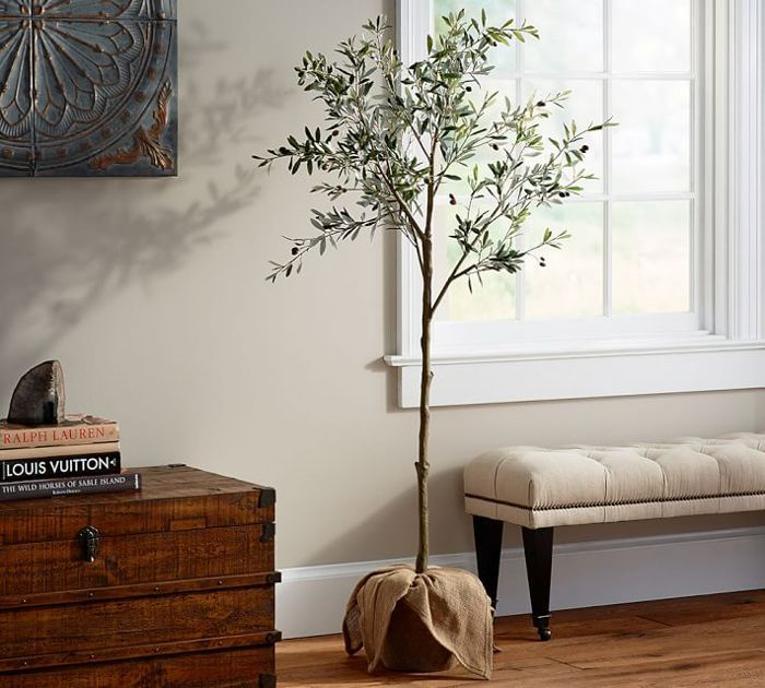 an indoor olive tree