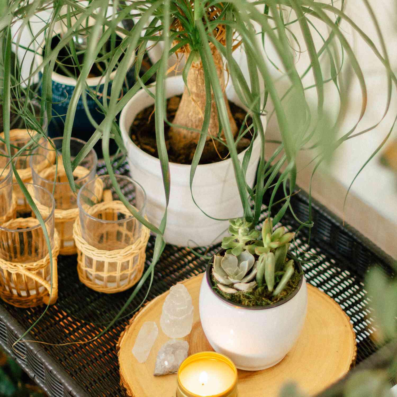 best window plants: ponytail palm