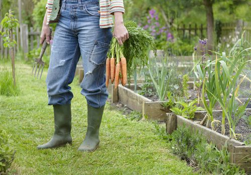 Person holding carrots in garden.
