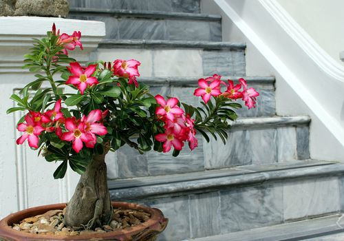 desert rose bonsai with pink flowers in pot in front of marble stairs