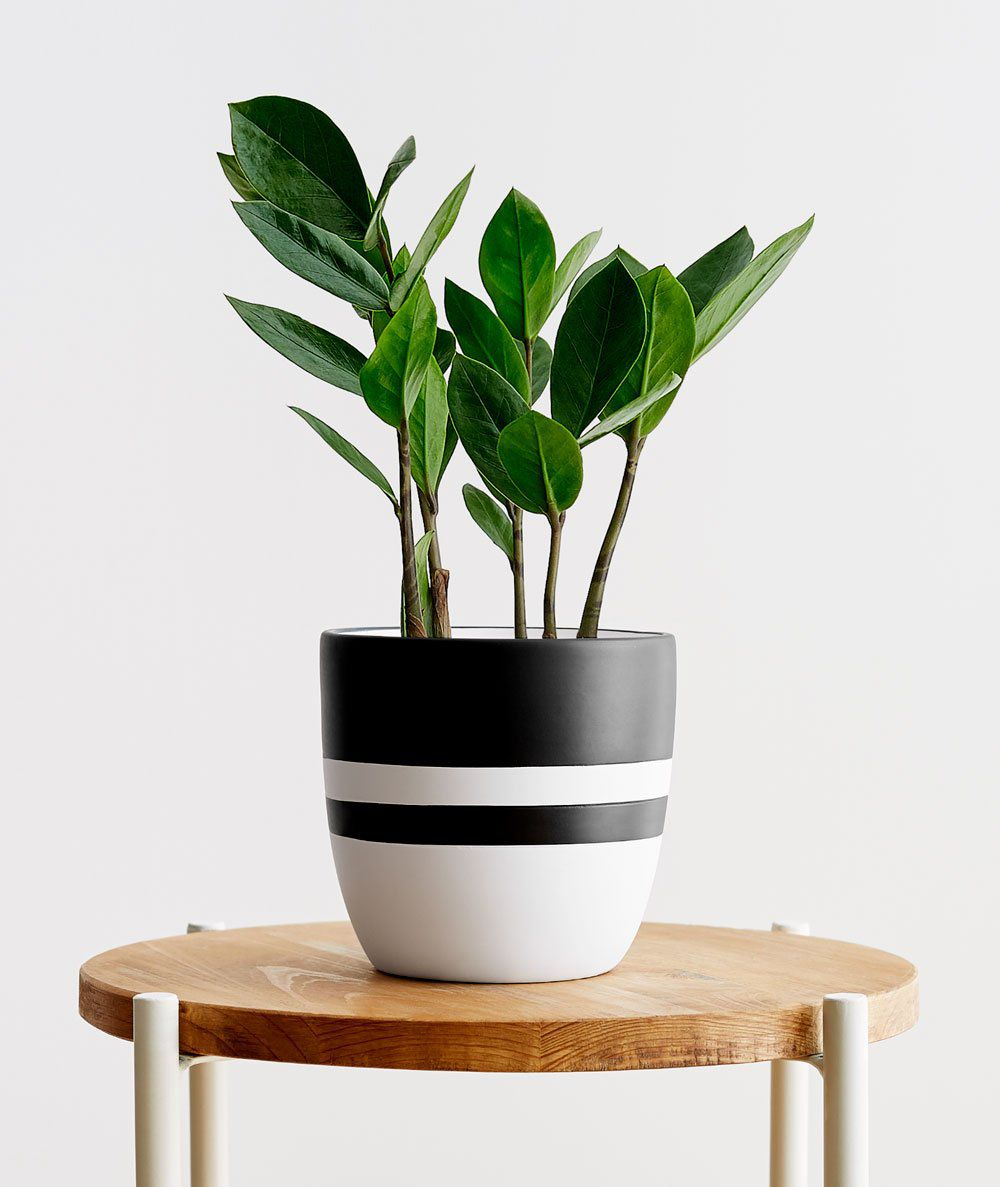 ZZ plant in a black and white striped pot on a wood side table