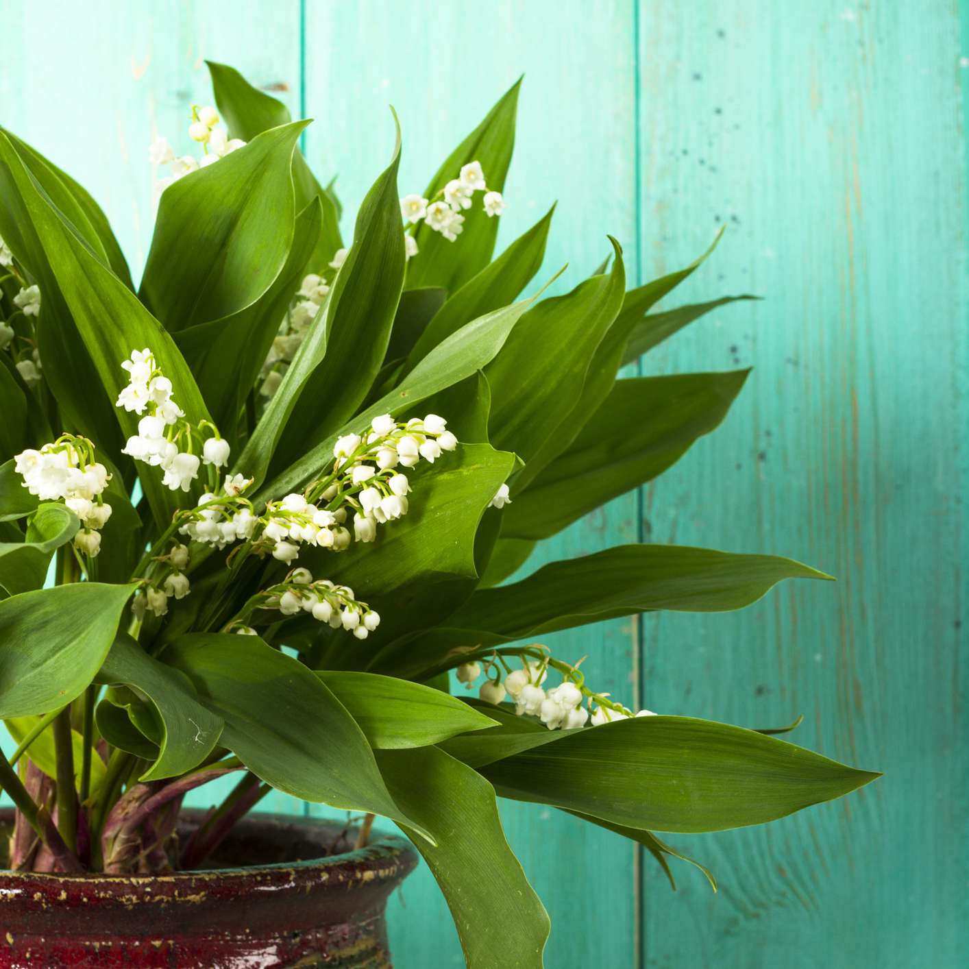 Potted Lily Of The Valley houseplant with white flowers On Aqua Wood Background