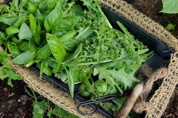 Basket full of fresh cut herbs.