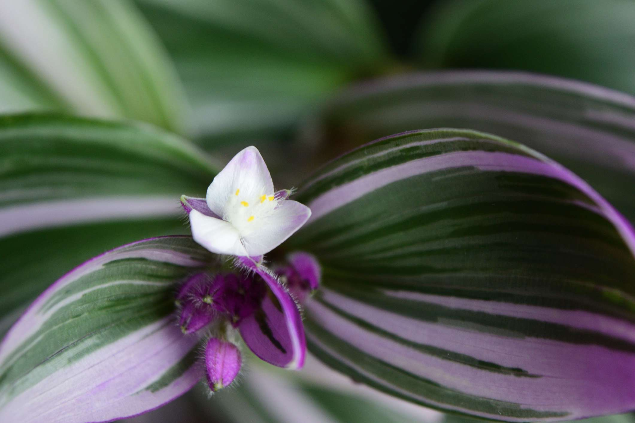 Closeup of a Tradescantia Nanouk blossom with green, pink, and white leaves; pink buds; and a white flower