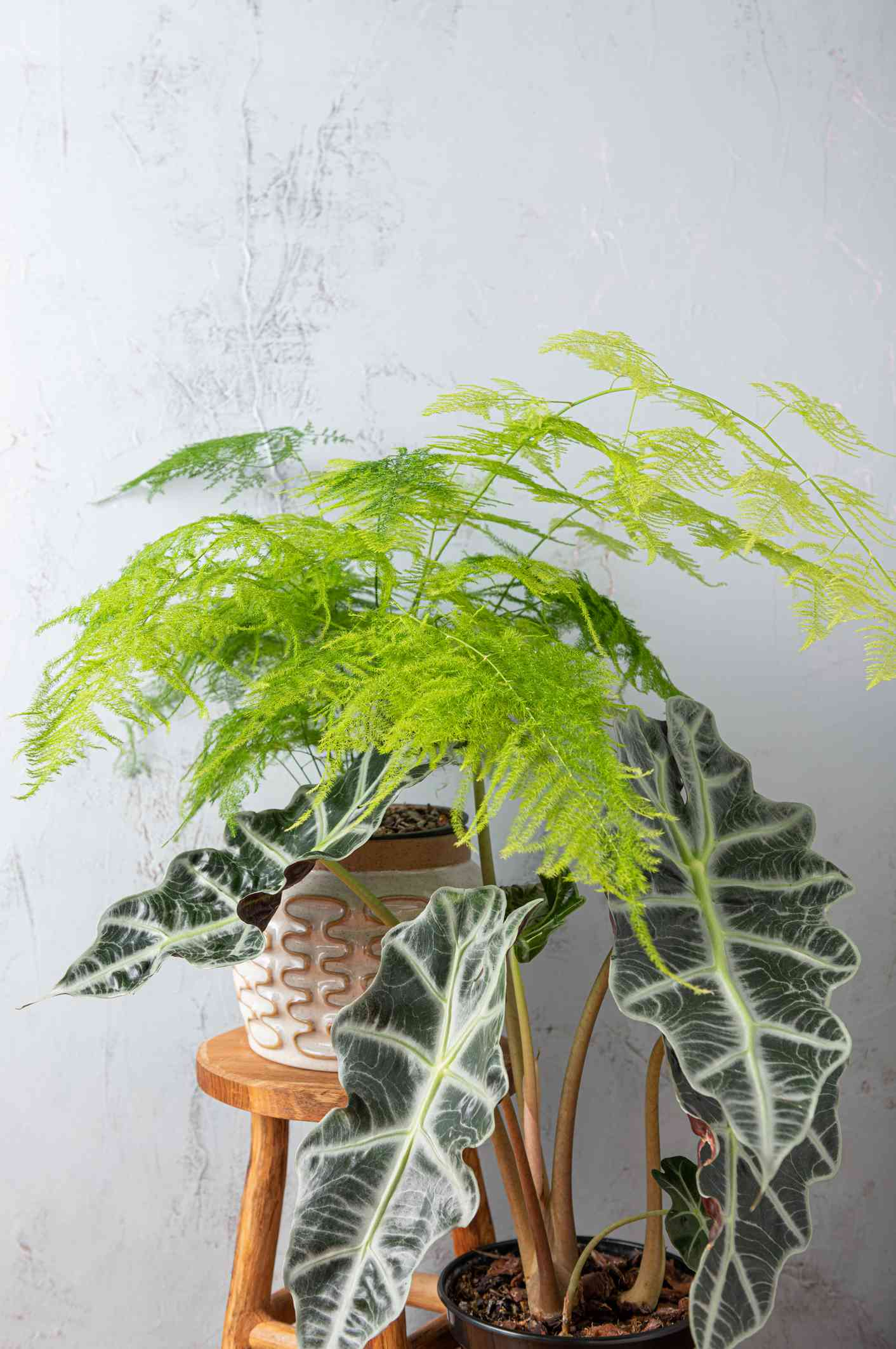 light green asparagus fern and green and white alocasia in pots on wooden stools in front of gray background