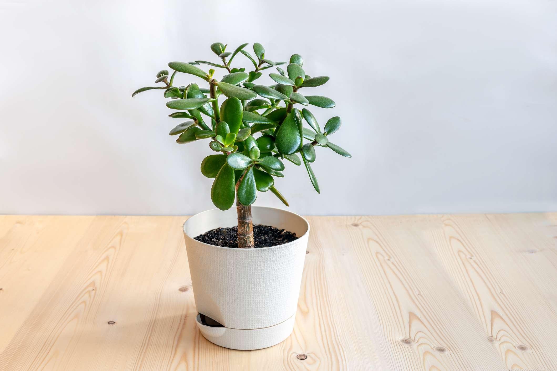 Jade plant care