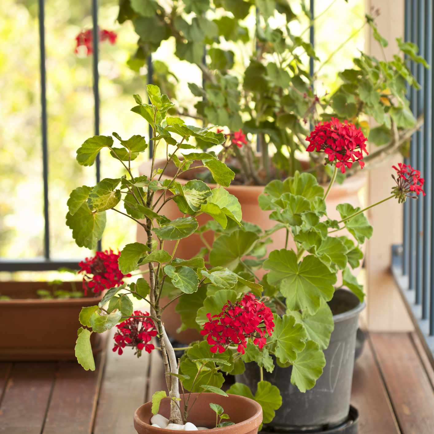 Potted geraniums on a deck.
