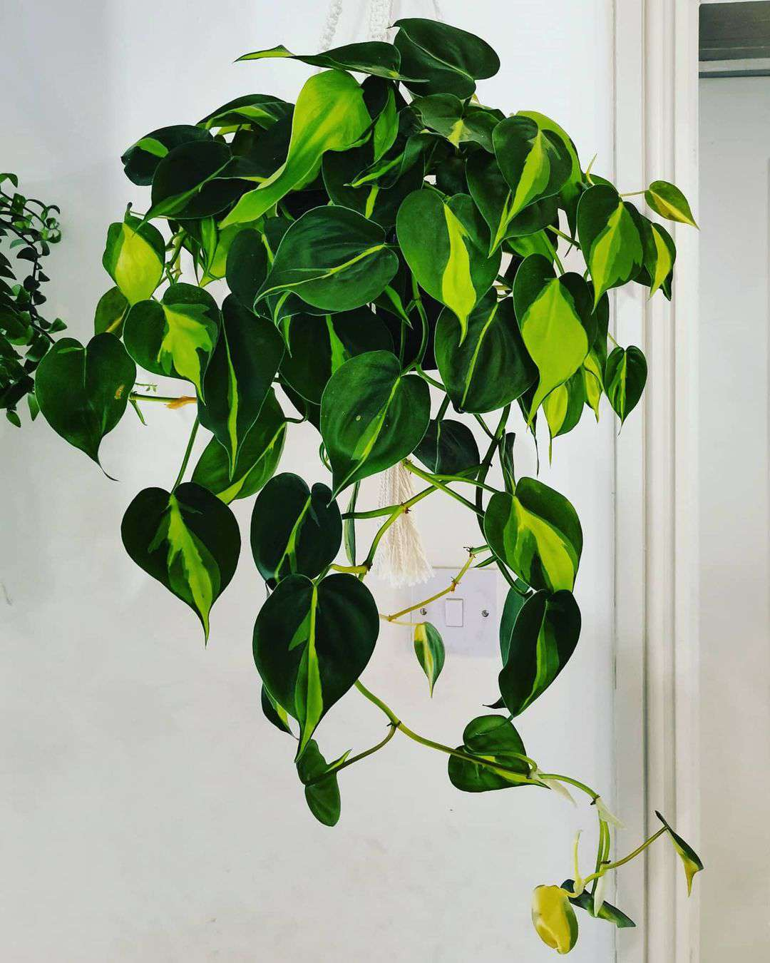 philodendron brasil plant in hanging basket