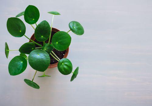 planta pilea