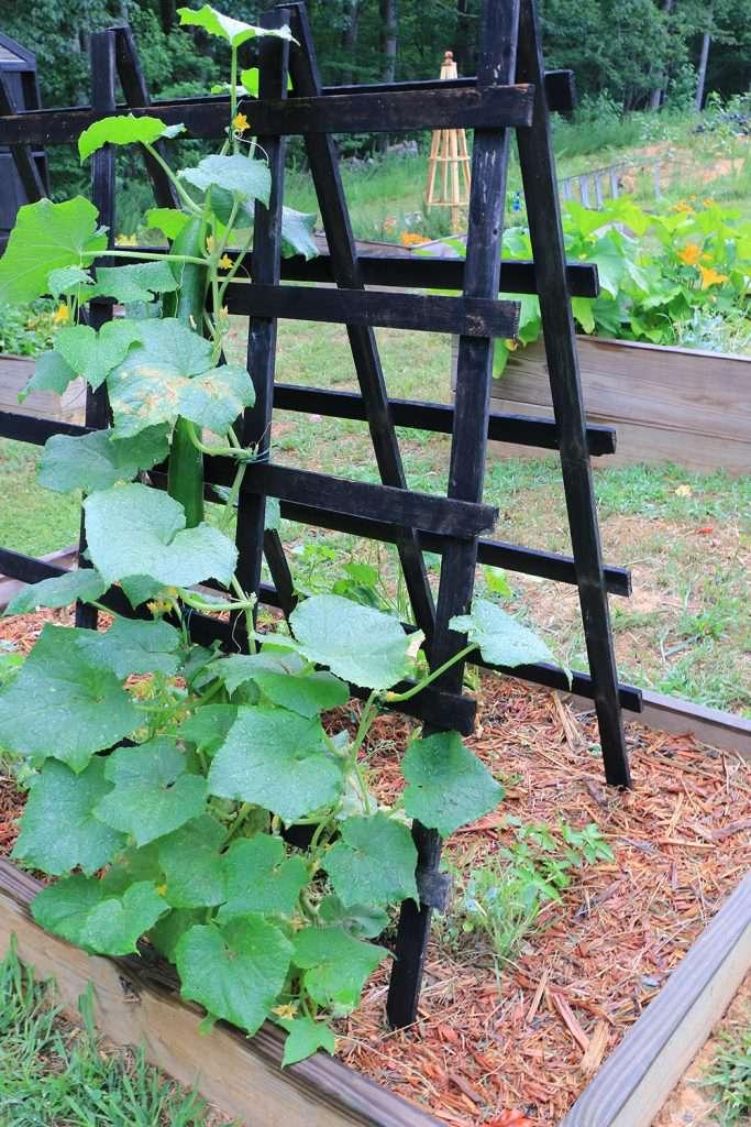 Cucumber plant climbing up trellis.