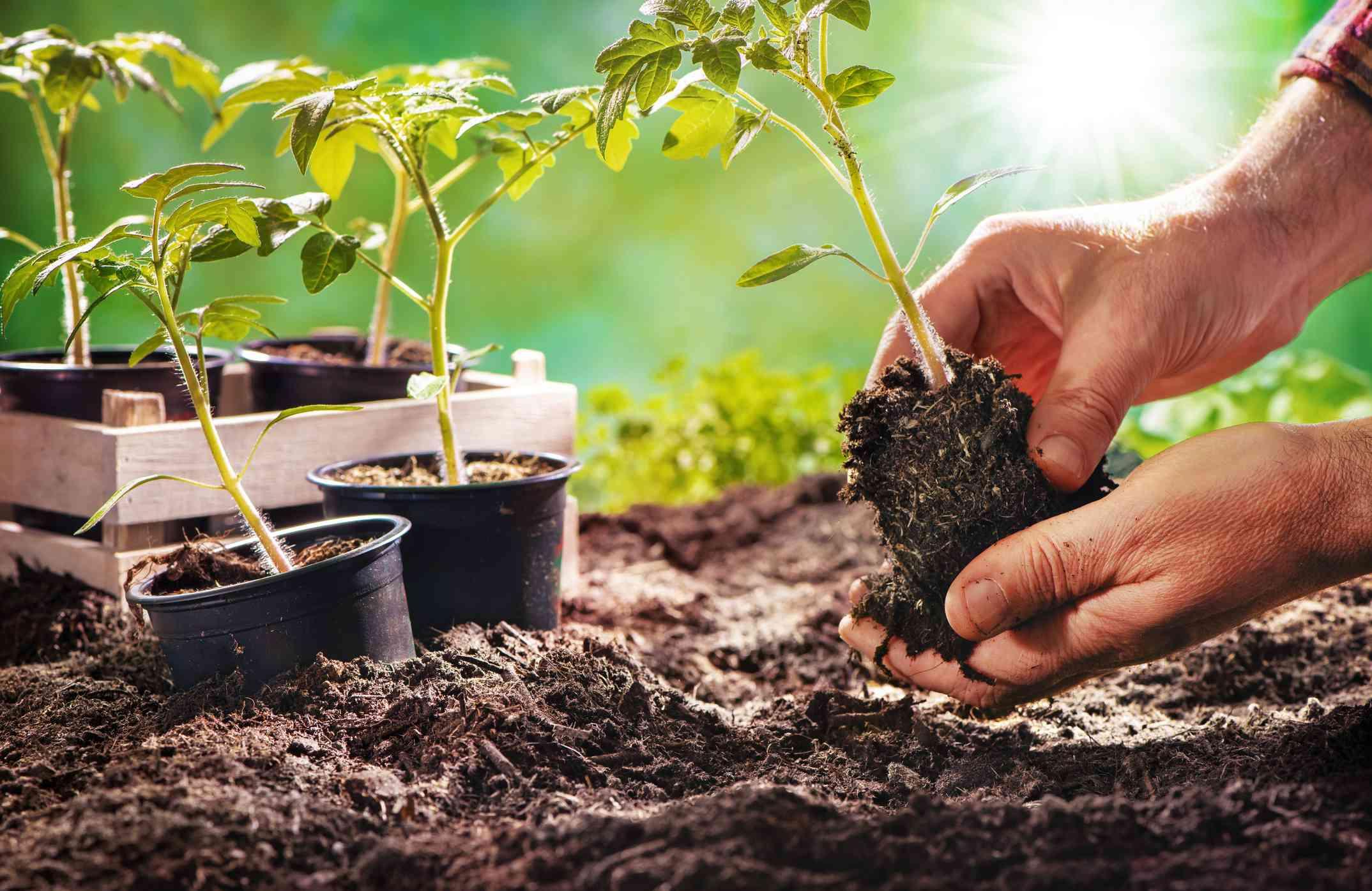 planting seedlings outdoors