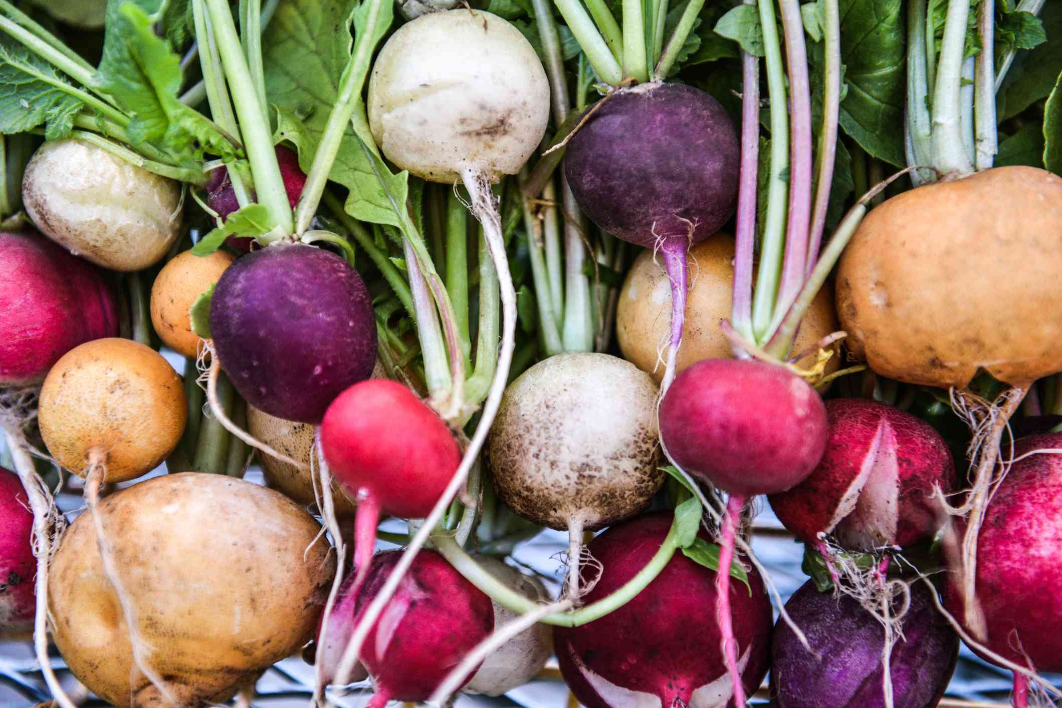 red, white, purple, and gold radishes freshly harvested from garden