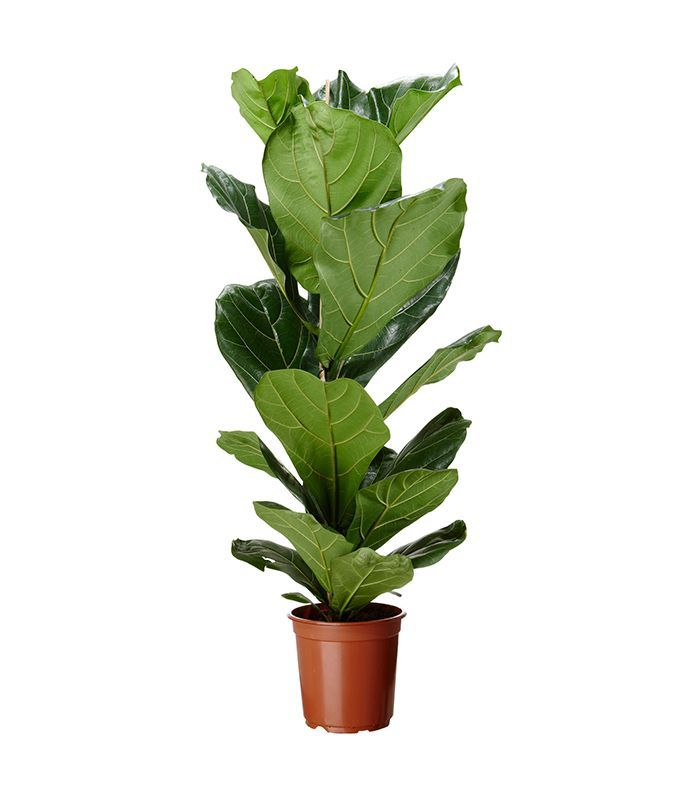 IKEA Fiddle-Leaf Fig