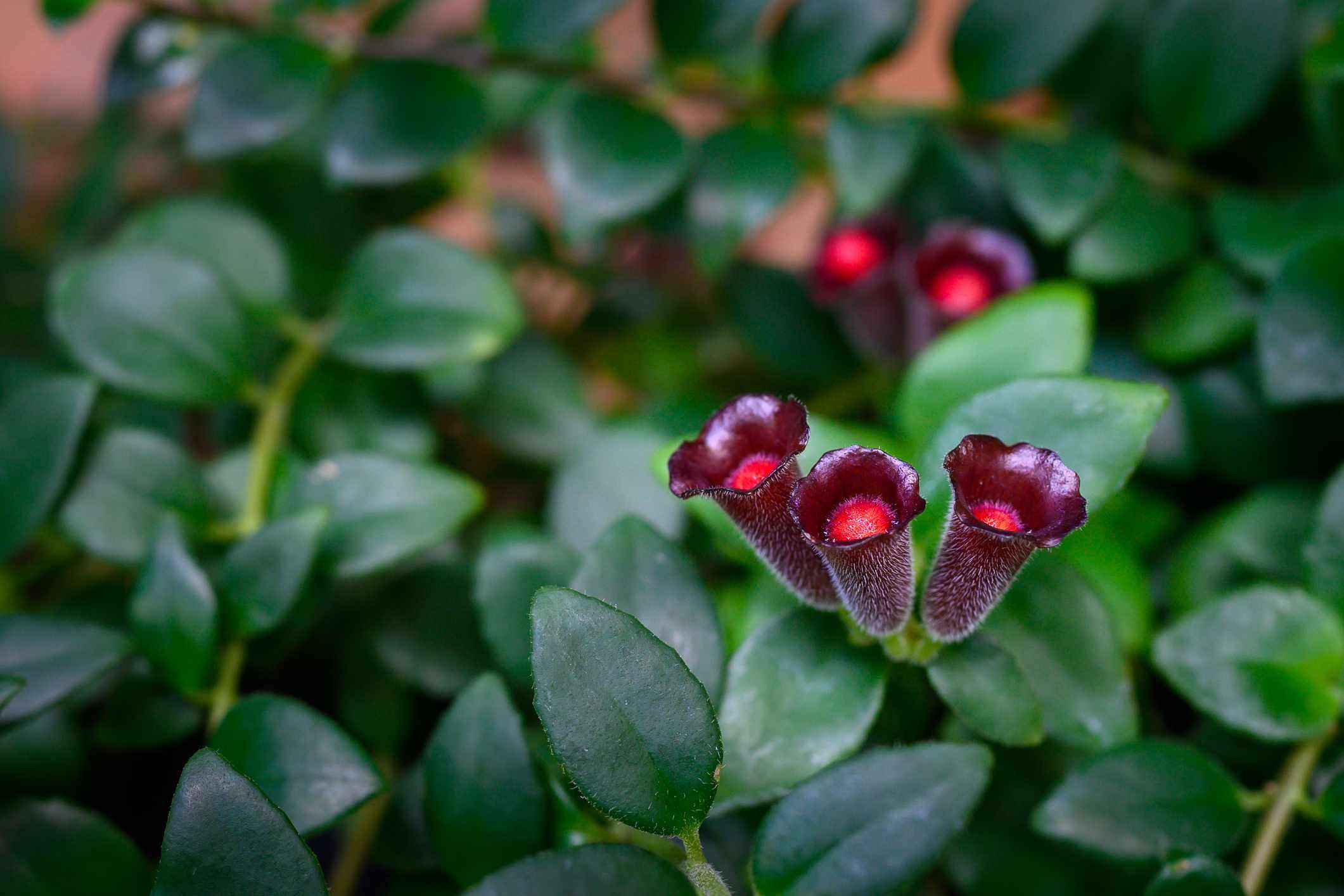 lipstick plant blooms