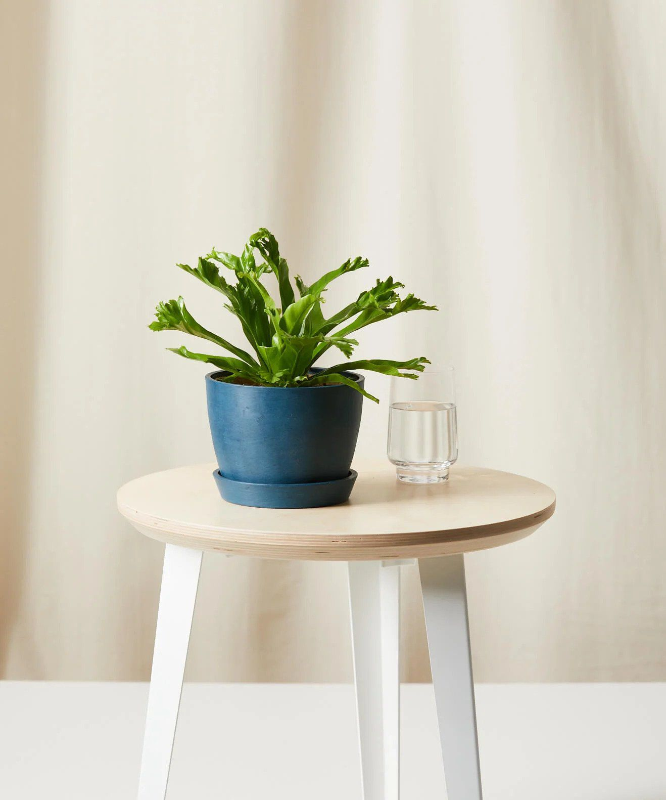 houseplants safe for cats: bird's nest fern