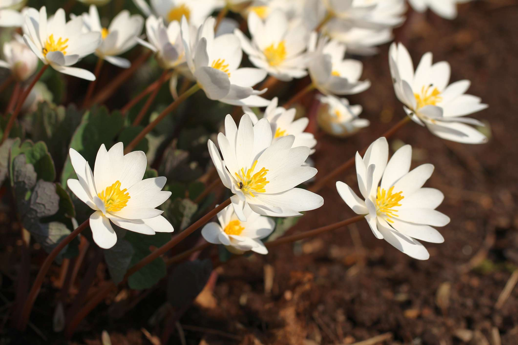 white and yellow bloodroot flowers in garden