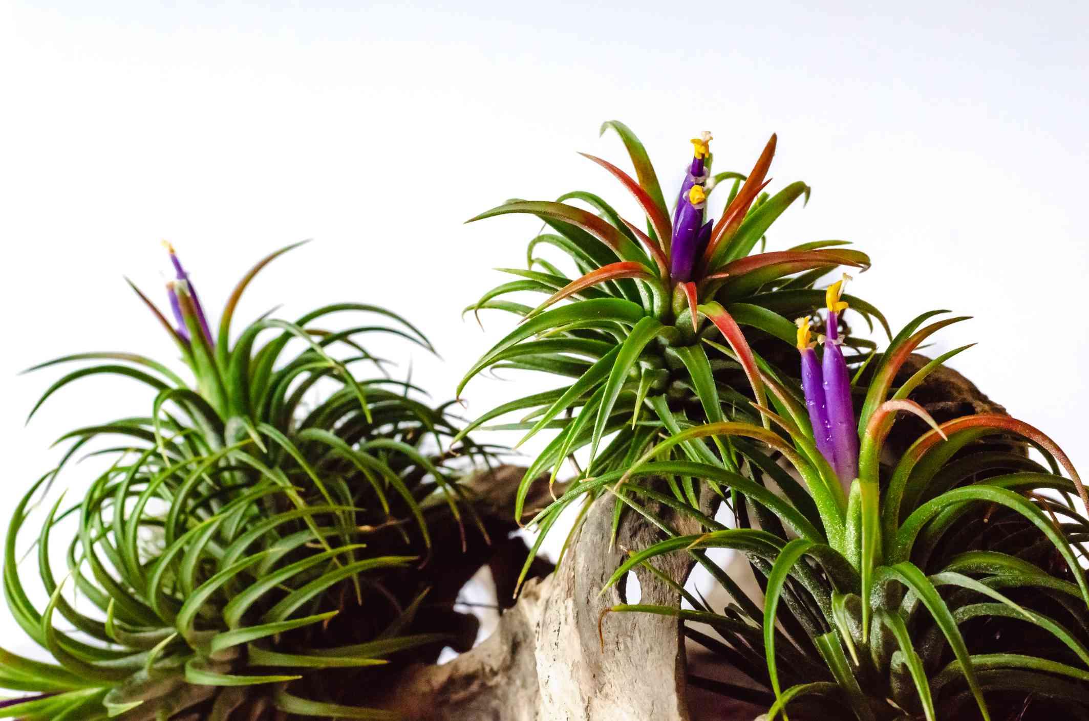 Tillandsia air plants blooming