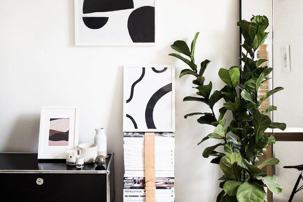 Fiddle-leaf fig in a modern styled space