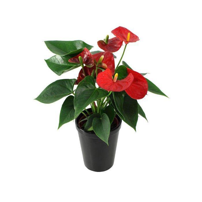 Florida Foliage Anthurium Red
