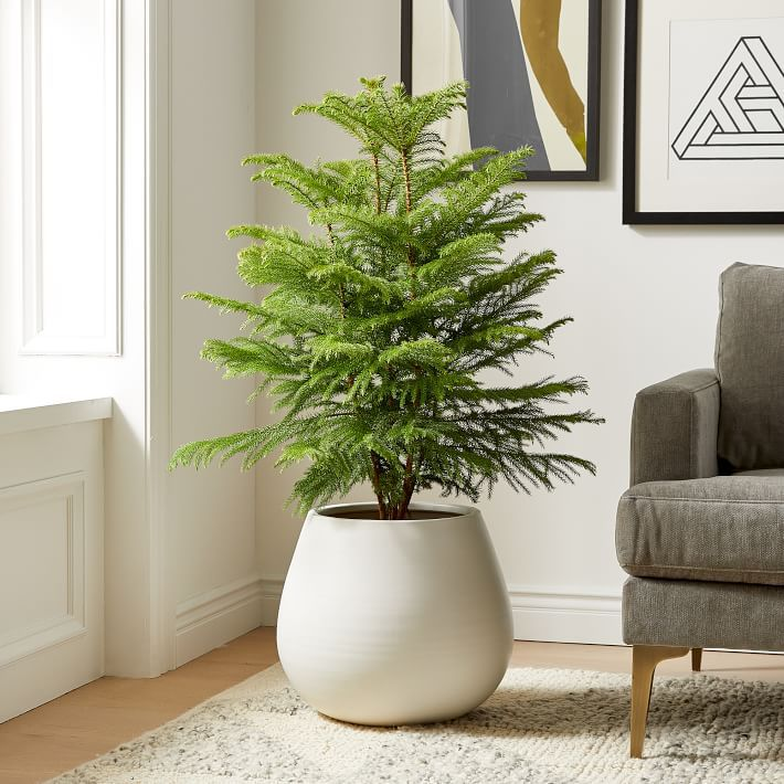 Norfolk pine tree.