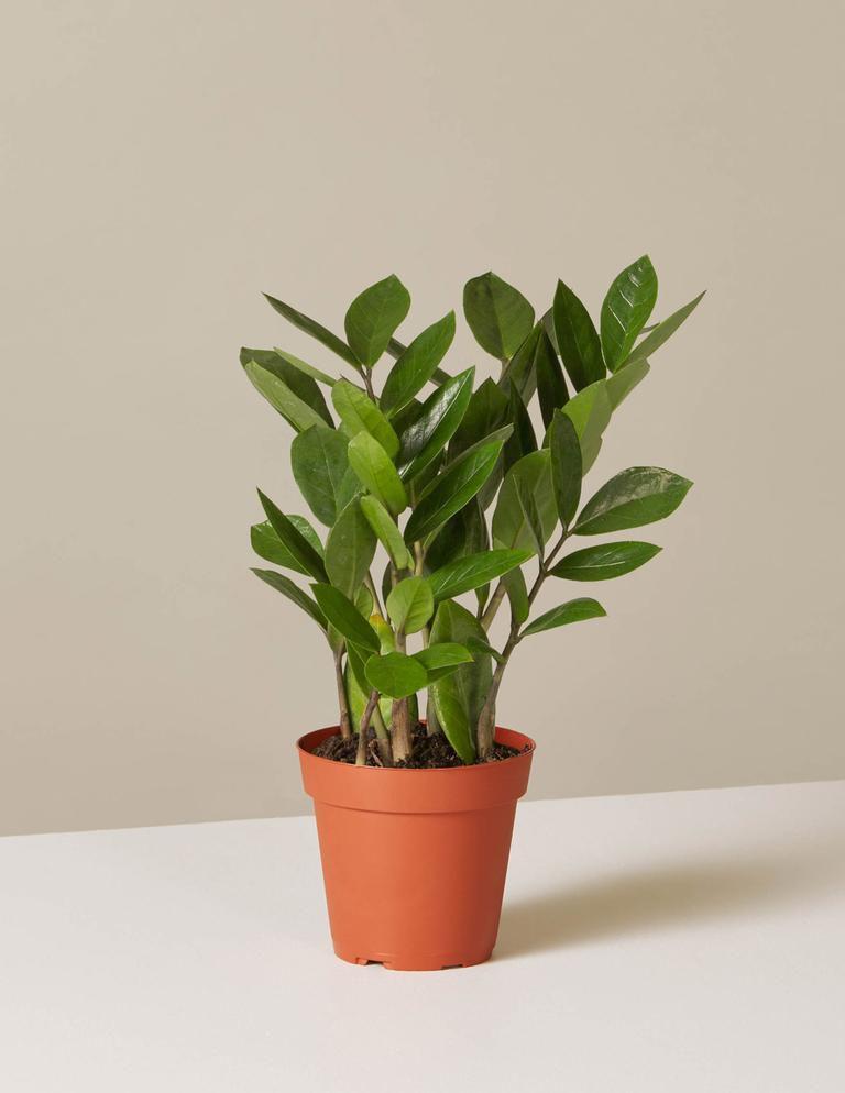 ZZ plant in orange grower's pot