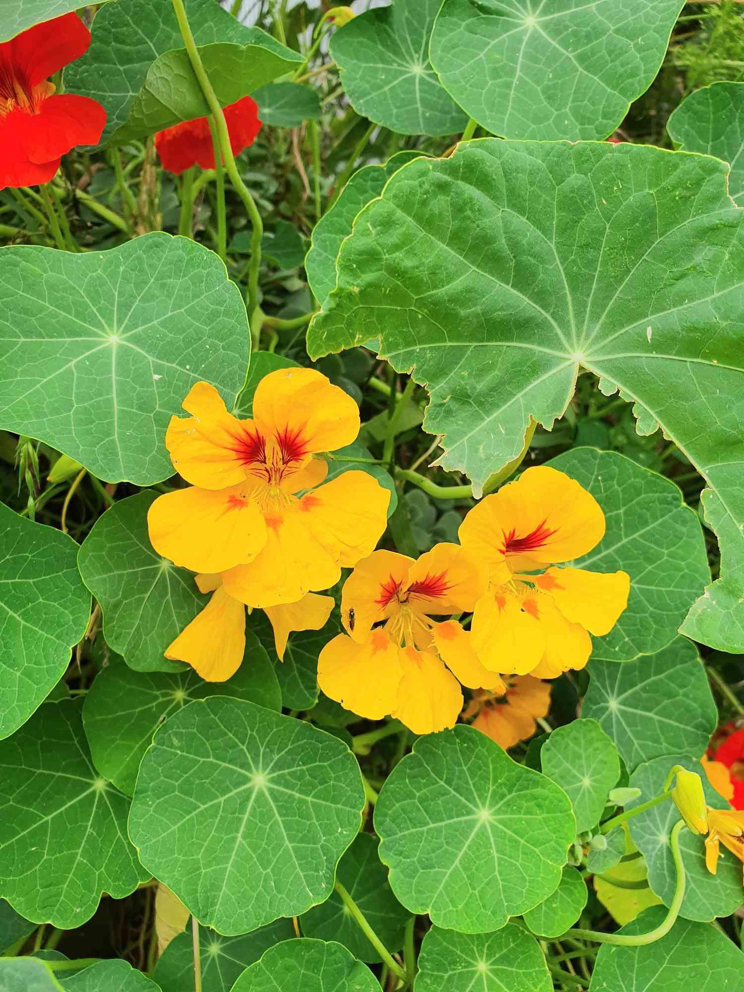 nasturtium plants in garden with orange and yellow flowers