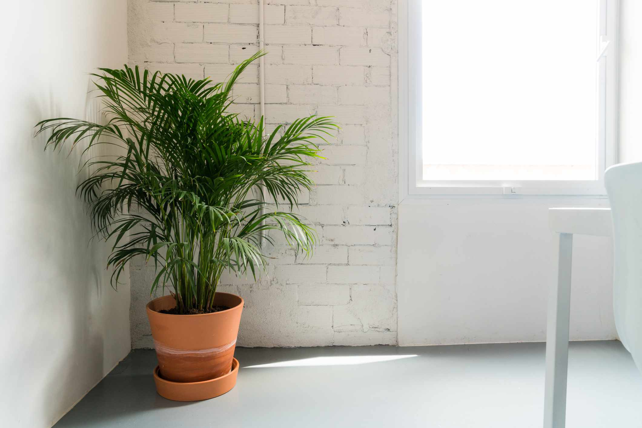 Potted bamboo palm houseplant in indirect light