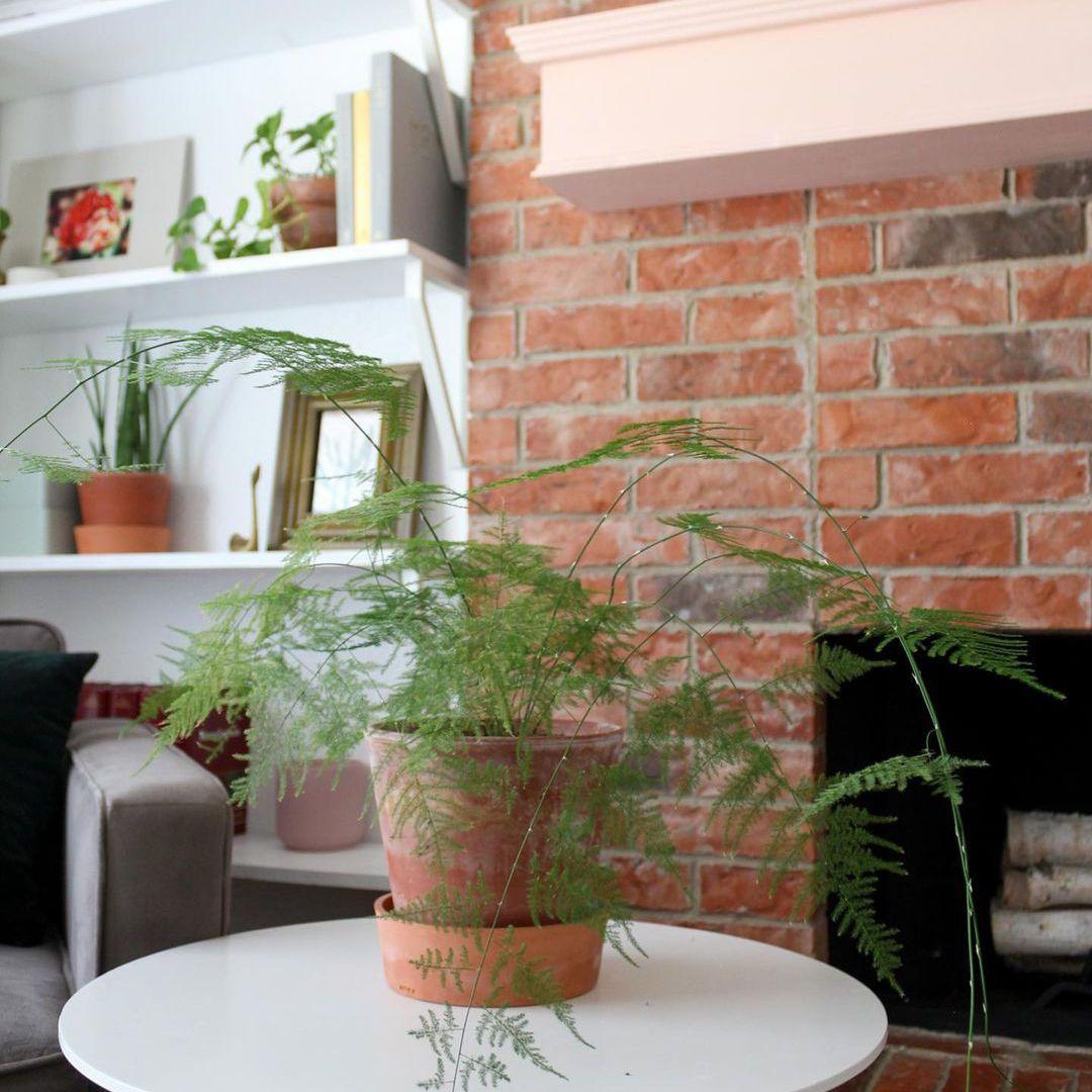 Asparagus fern on side table
