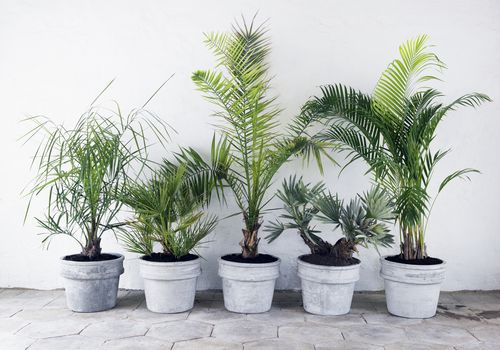 A variety of potted palms