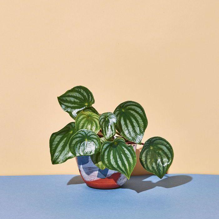 Low-Light Indoor Plants — Watermelon Begonia