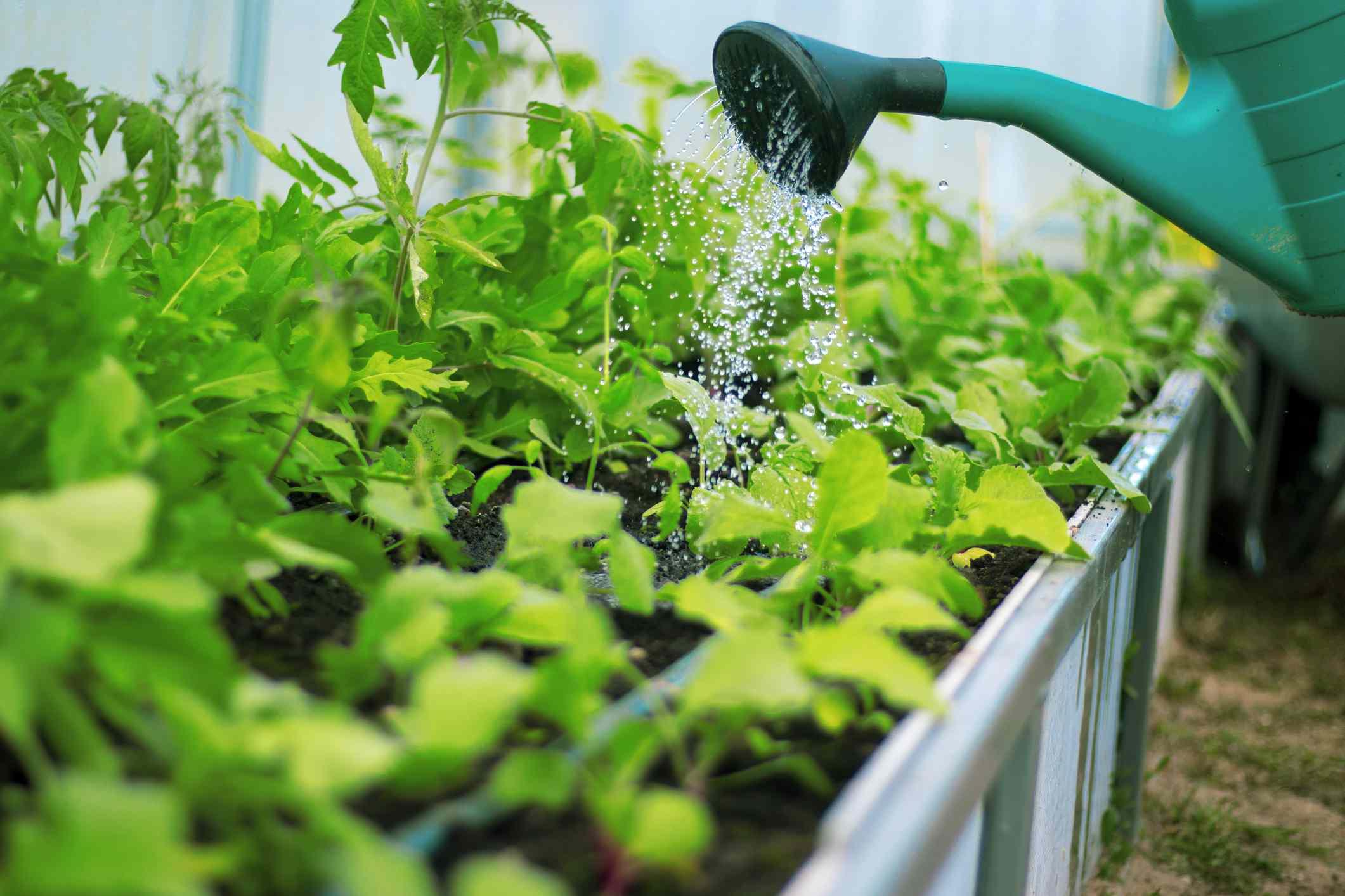 watering vegetable garden seedlings