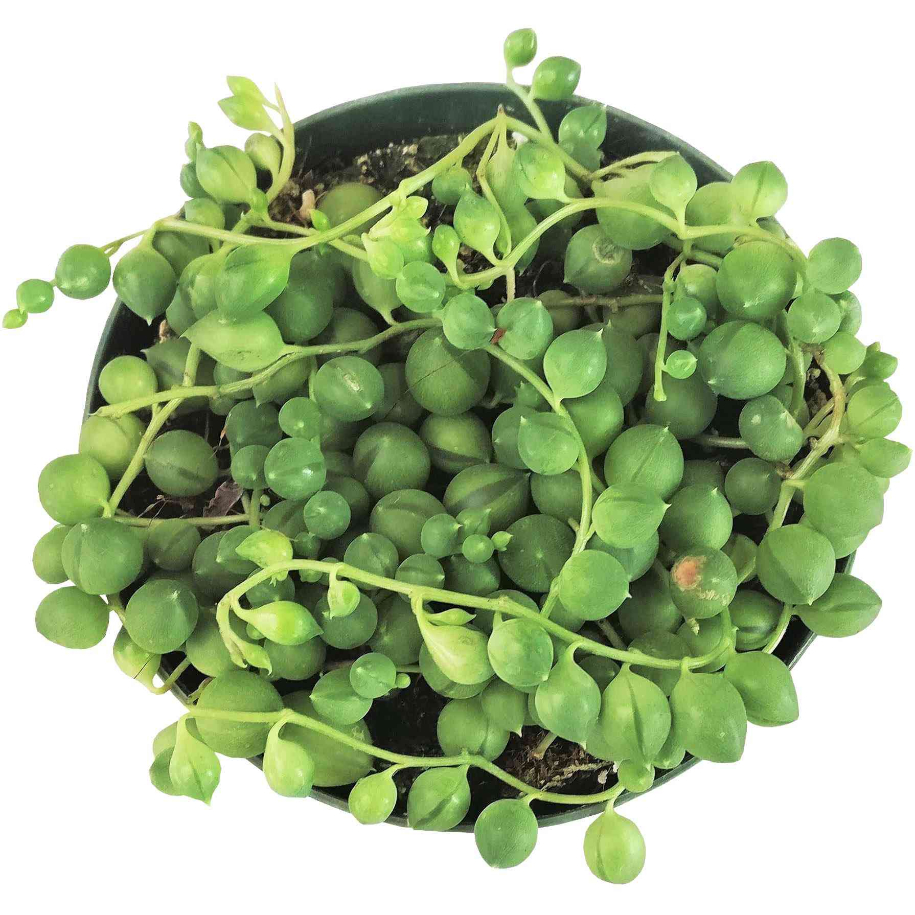 String of pearls plant from above