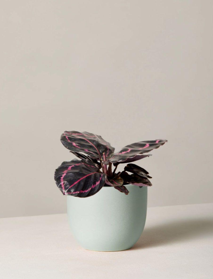 Calathea Dottie plant in pot