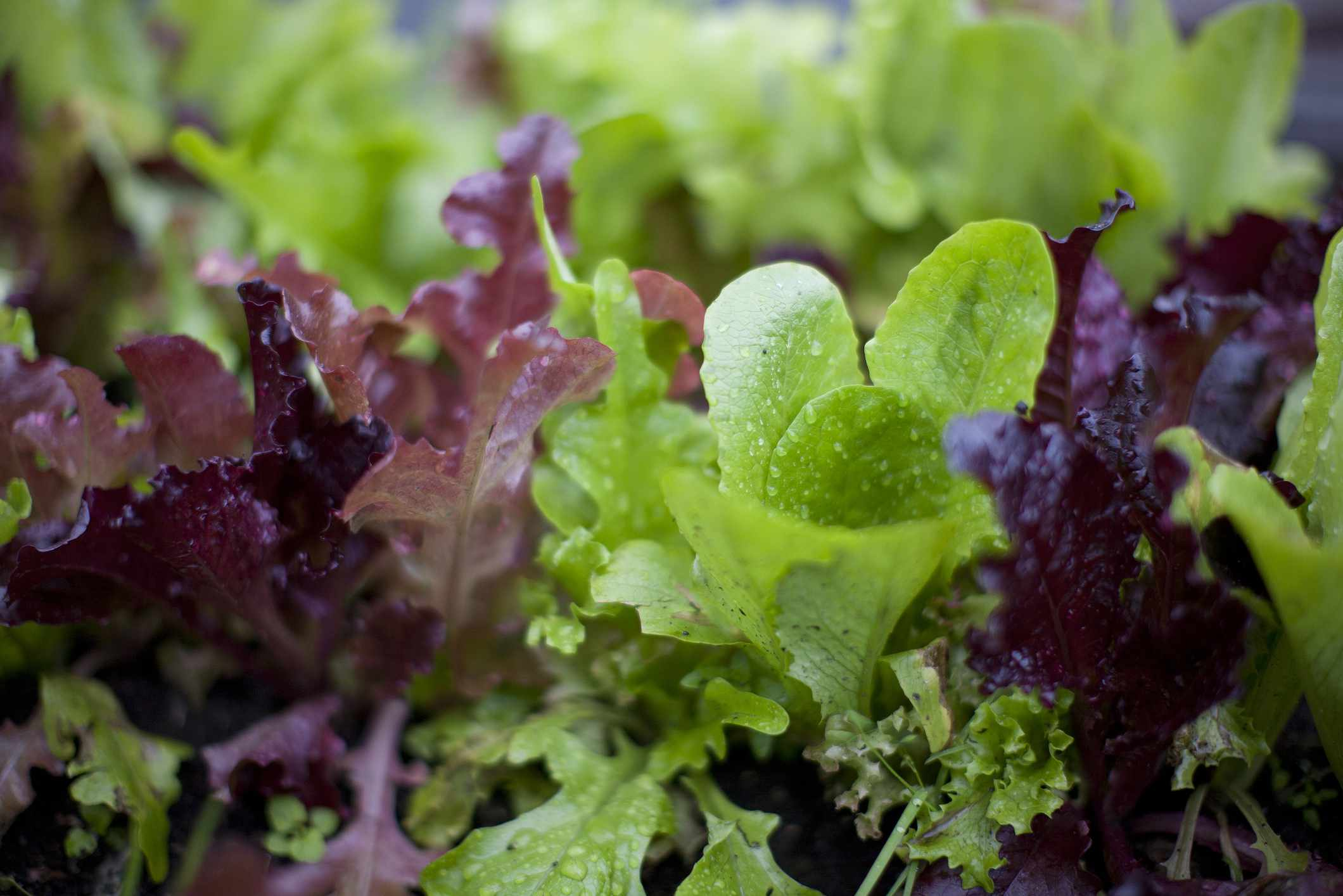 closeup of red and green lettuces in garden