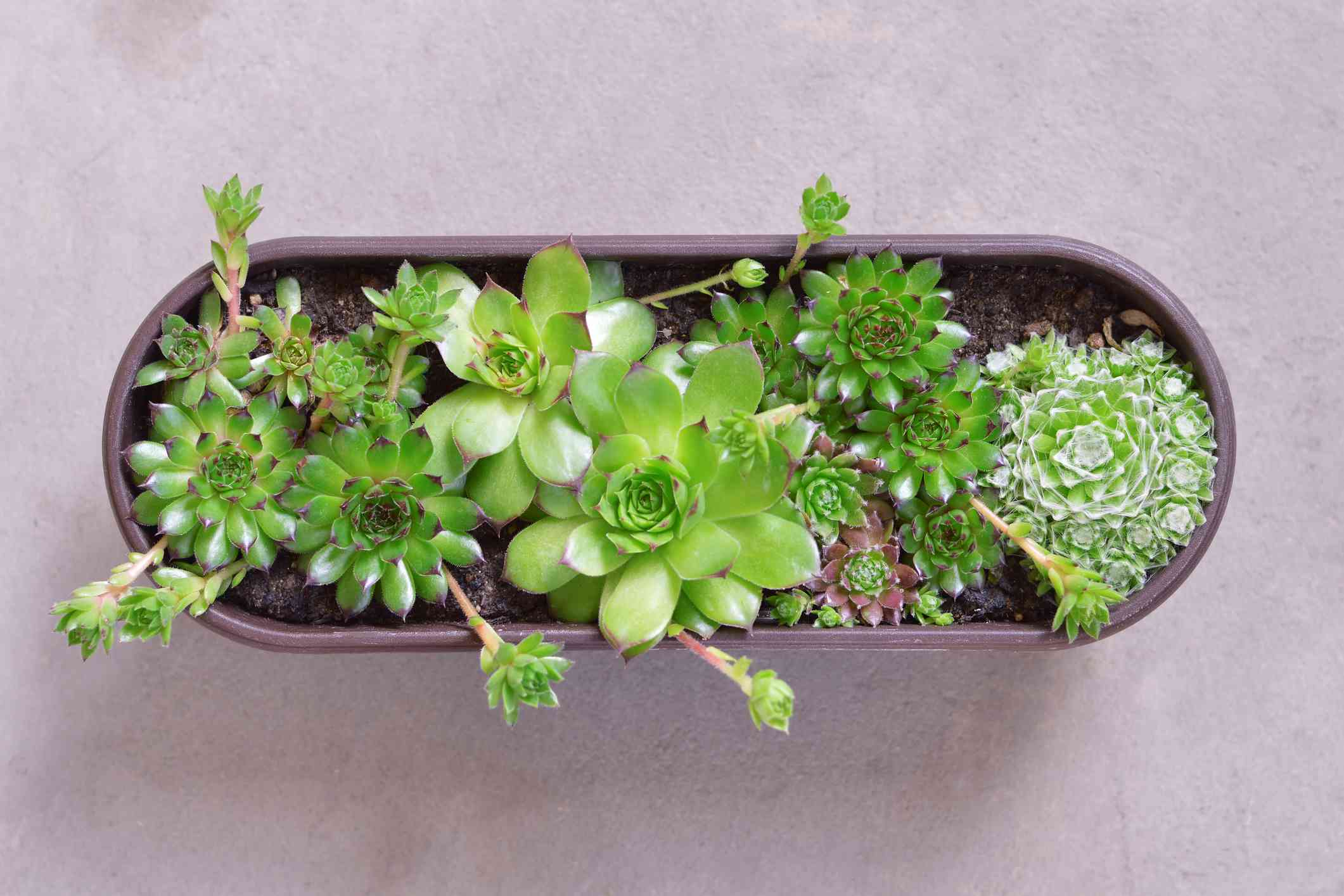 hen and chick plants in oval container