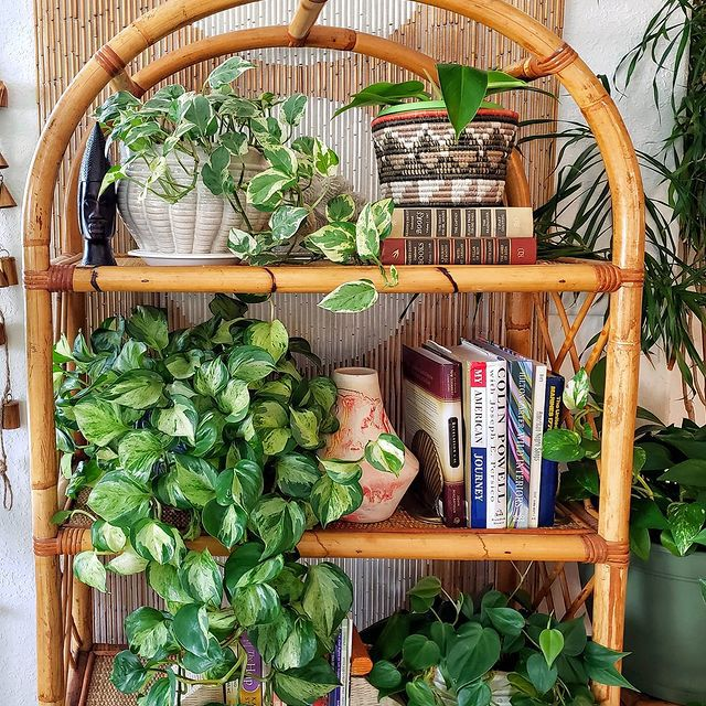 Pothos plants on rattan shelf